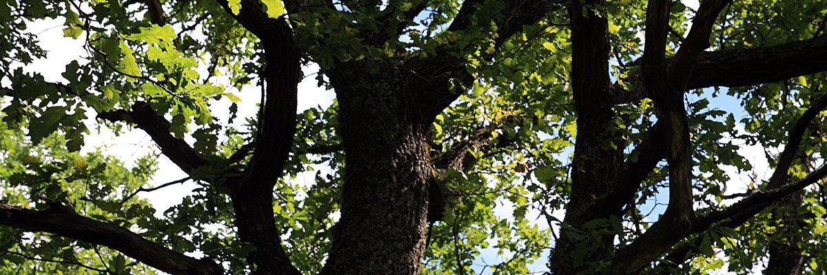 Egetræ med grønne blade